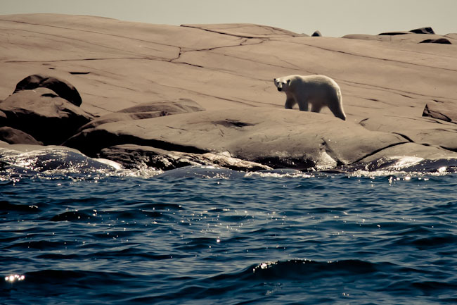 polar bear Churchill Manitoba Canada