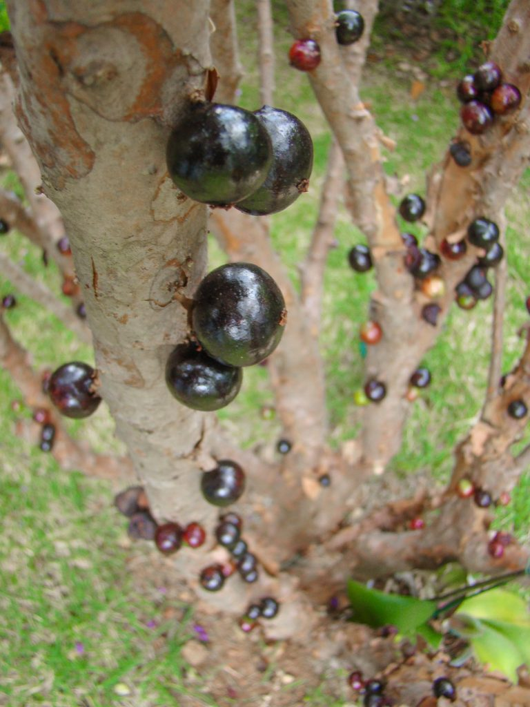 Jabuticaba is one of the most common exotic fruits in the world. You can find it in Brazil, Argentina, Paraguay, Peru and Bolivia.