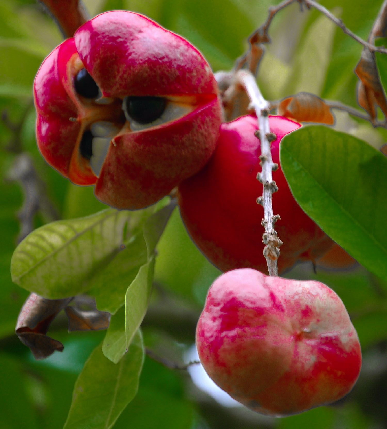 Ackee is one of the tastiest exotic fruits in the world, it's original from West Africa but was brought to Jamaica.