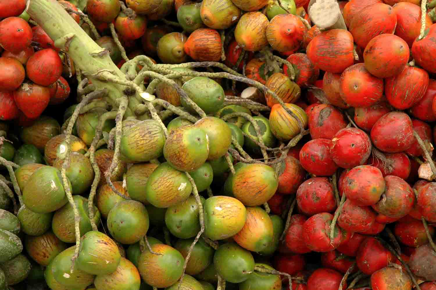 Pejibaye is palm beach fruit that can be found in Costa Rica.
