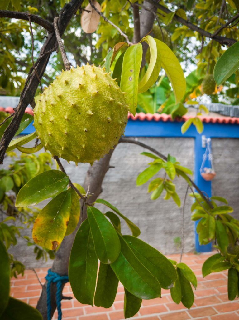 sour sop fruit on a tree in Cuba
