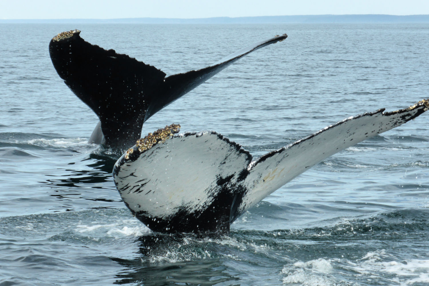 Whale watching one of the best things to do in Nova Scotia