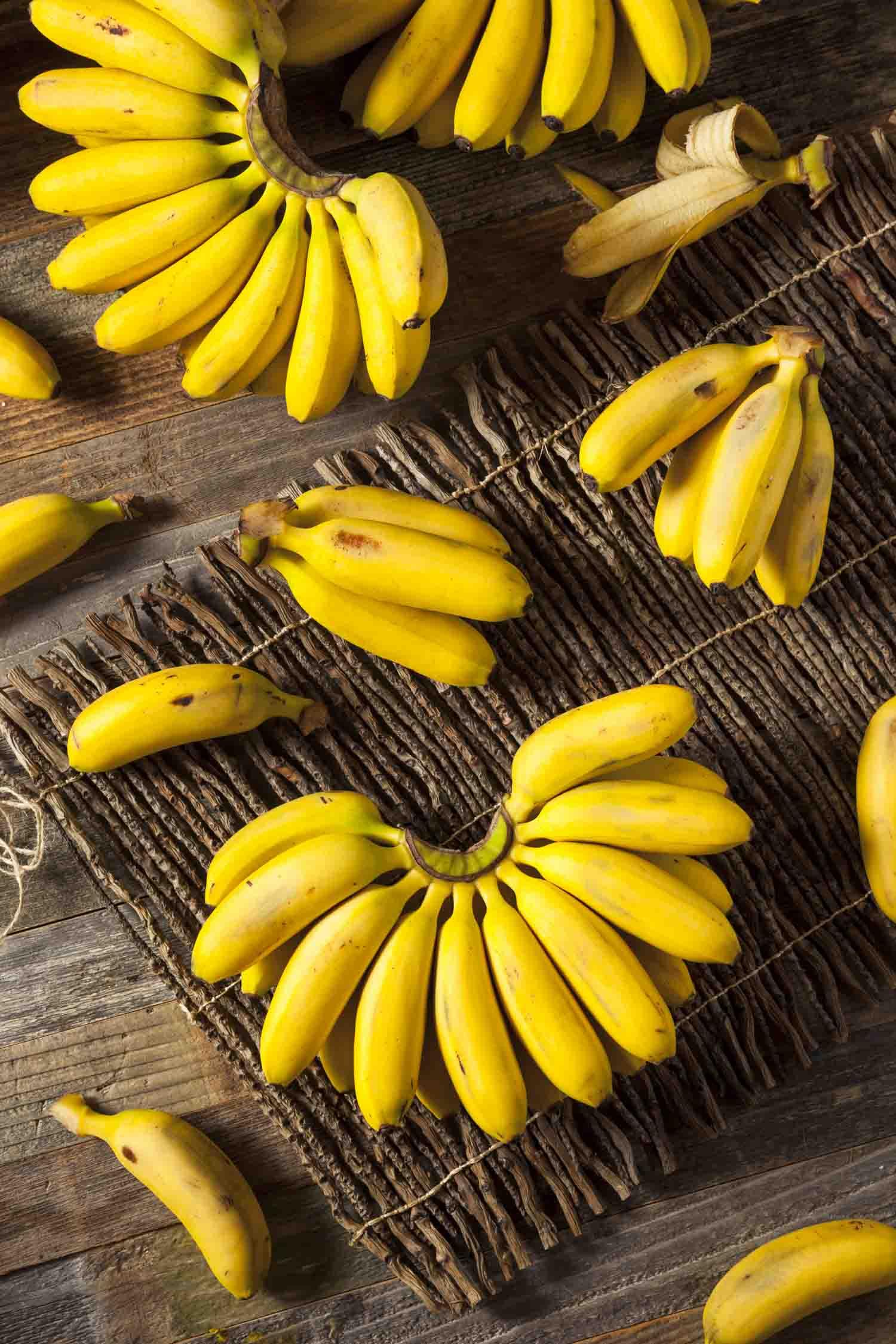 Cuban fruit Raw Organic Yellow Baby Bananas in a Bunch