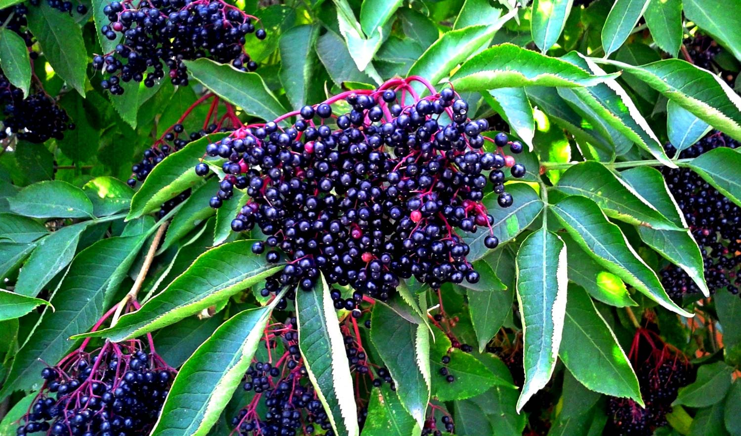 Sauco berries on a buh. Sambucus berries. Common names include elder, elderberry, black european elder, European elderberry, European black elderberry. Black sambucus berries & leaves growing on tree or shrub. Fruit cluster