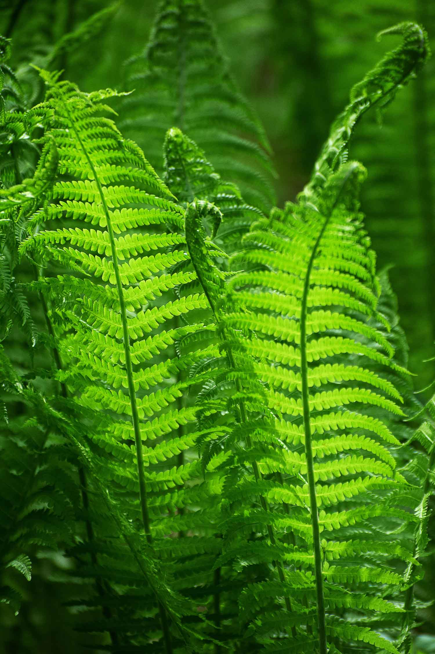 Green browses of fern leaves Matteuccia struthiopteris which are what fiddlehead ferns are known as