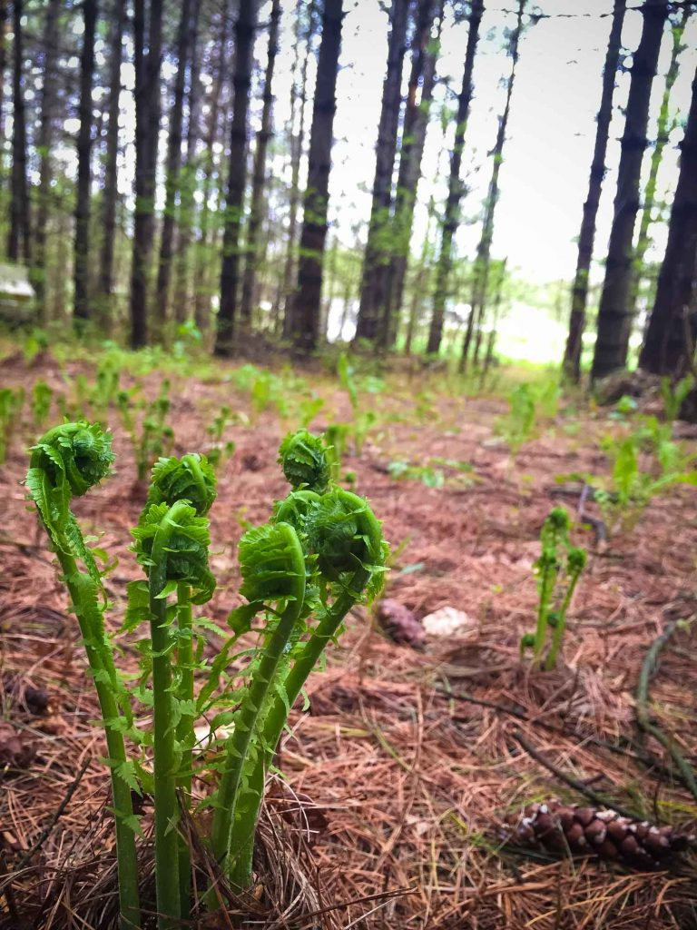 edible fiddlehead ferns growing in the forest in Ontario