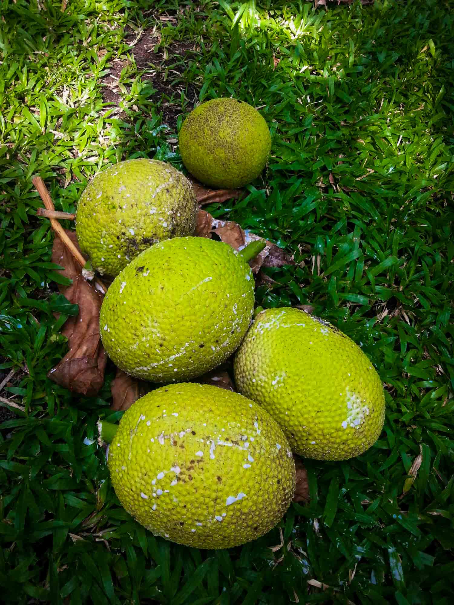 Jamaican fruits called breadfruit, also known as ulu in Hawaii. Several sizes on the grass so should diversity.