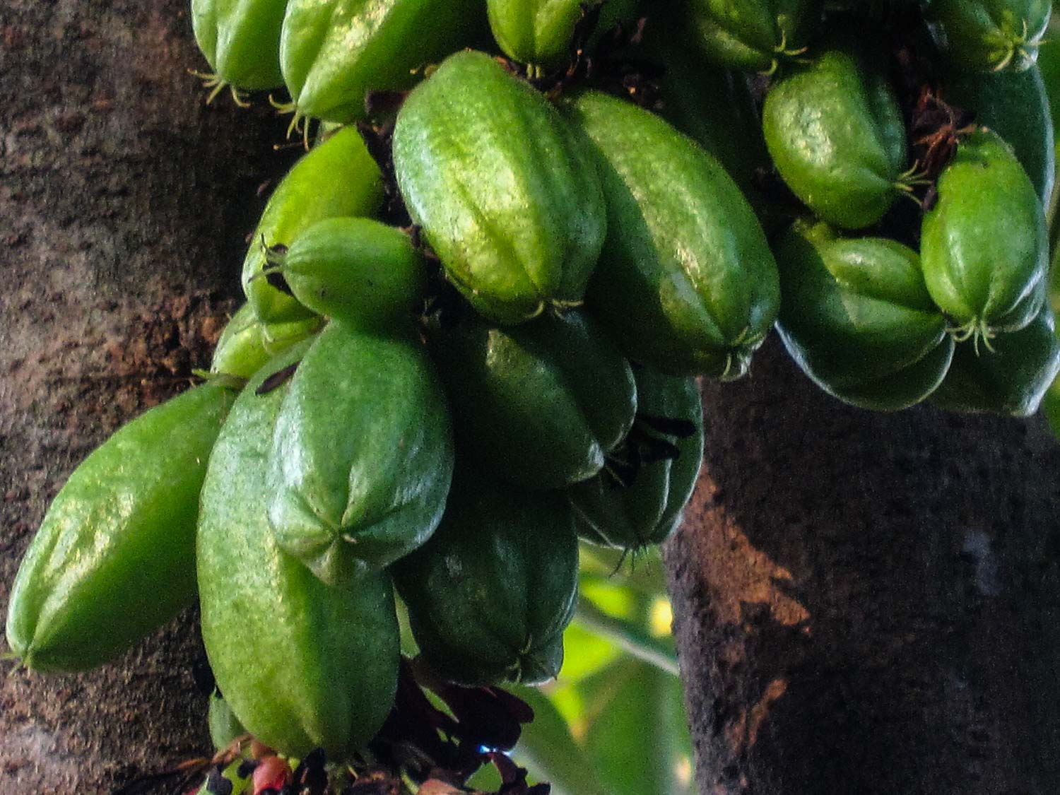 Cluster of Jamaica fruits called blim blim, they look like cucumber on a tree with five sides at the bottom as they are related to star fruit.