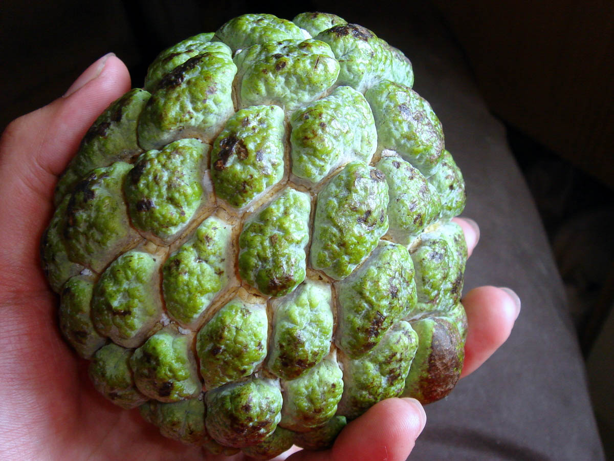 Jamaican fruit sweetsop in a hand.