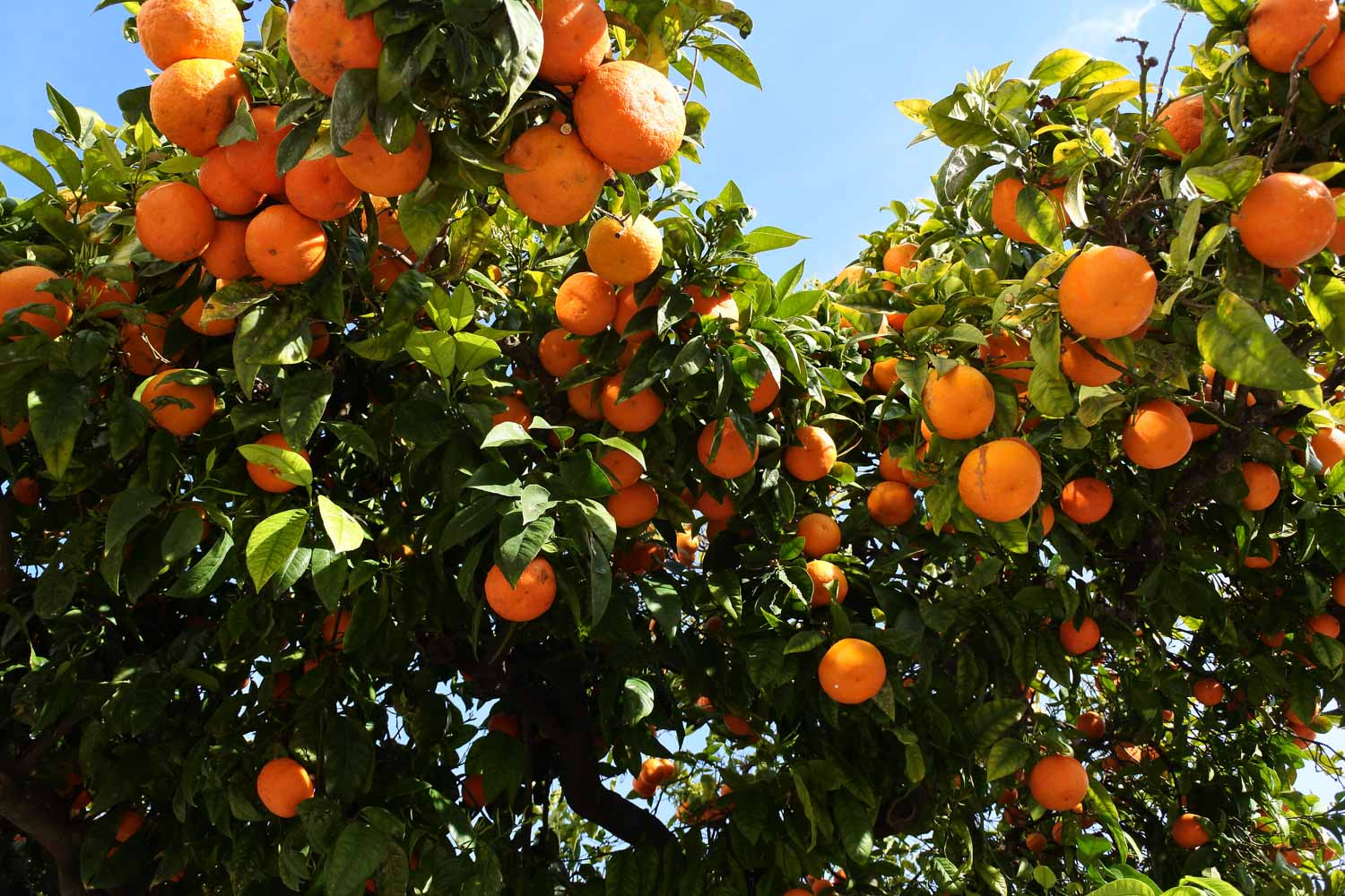 Jamaican fruit known as sour orange growing on a tree.