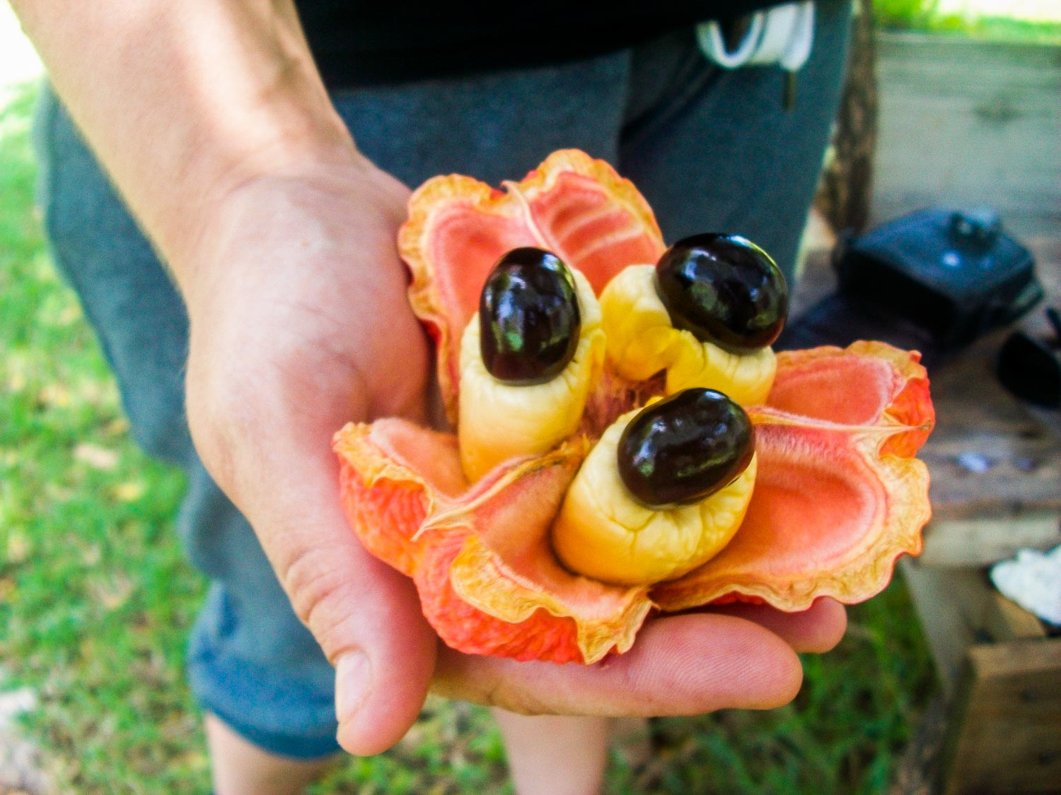Jamaican ackee in a man's hand