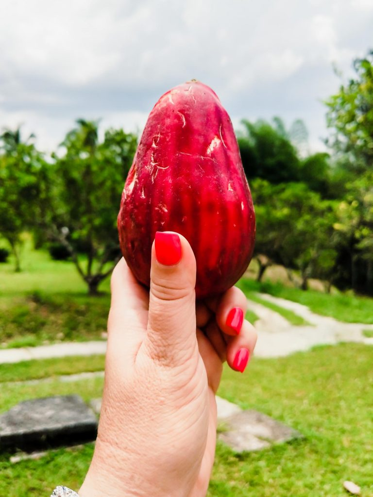 Jamaican mountain apple or Otaheite Apple in a woman's hand
