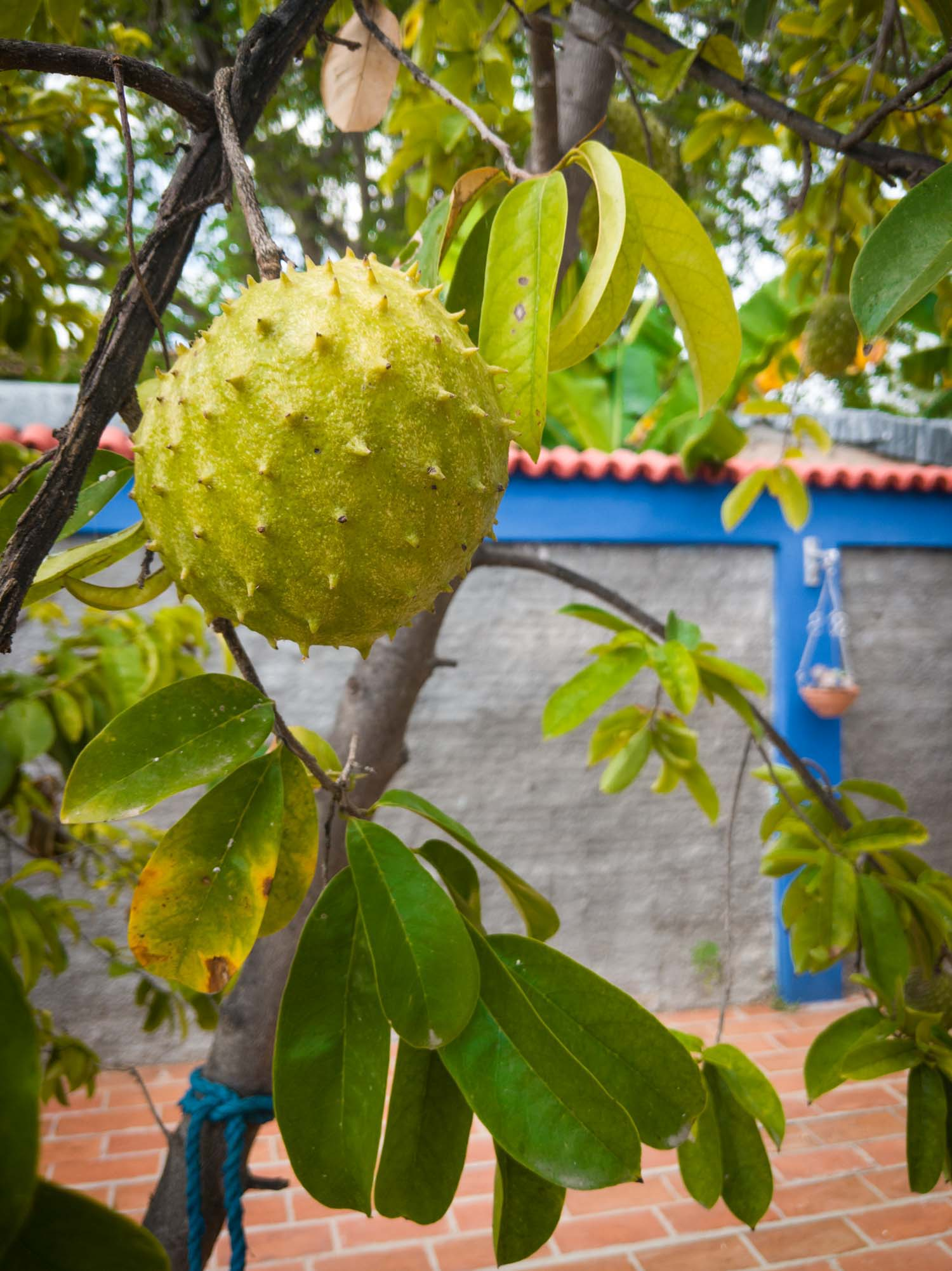 Soursop Jamaican fruits on a tree in a backyard setting.