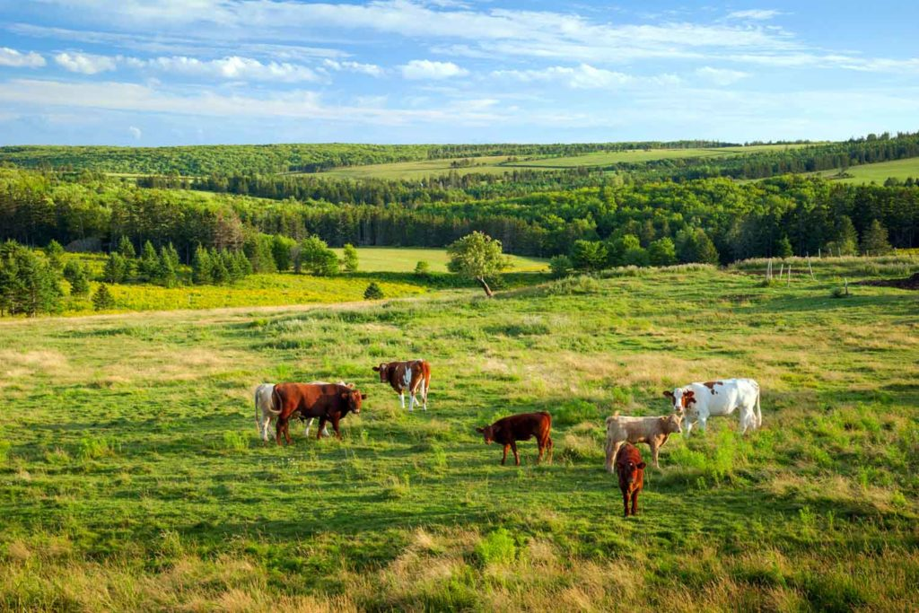 Dairy cows in PEI