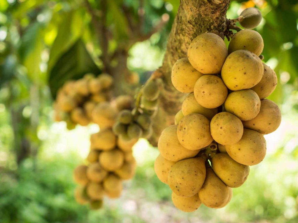 Lanzones in the Philippines or the delicious fresh wollongong fruits on tree in the wollongong farm, Thailand.