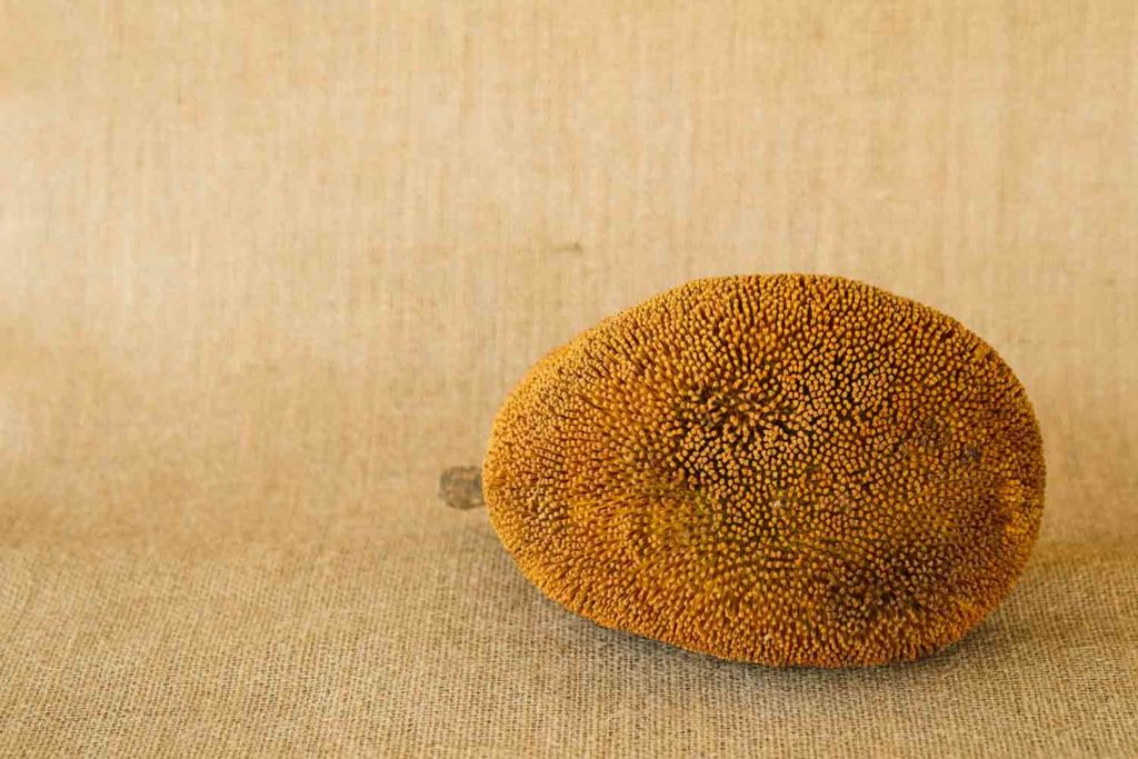 Artocarpus Odoratissimus, Terap or Tarap in local Malay language. Also called Marang in the Philippines; shot on isolated yellow background.