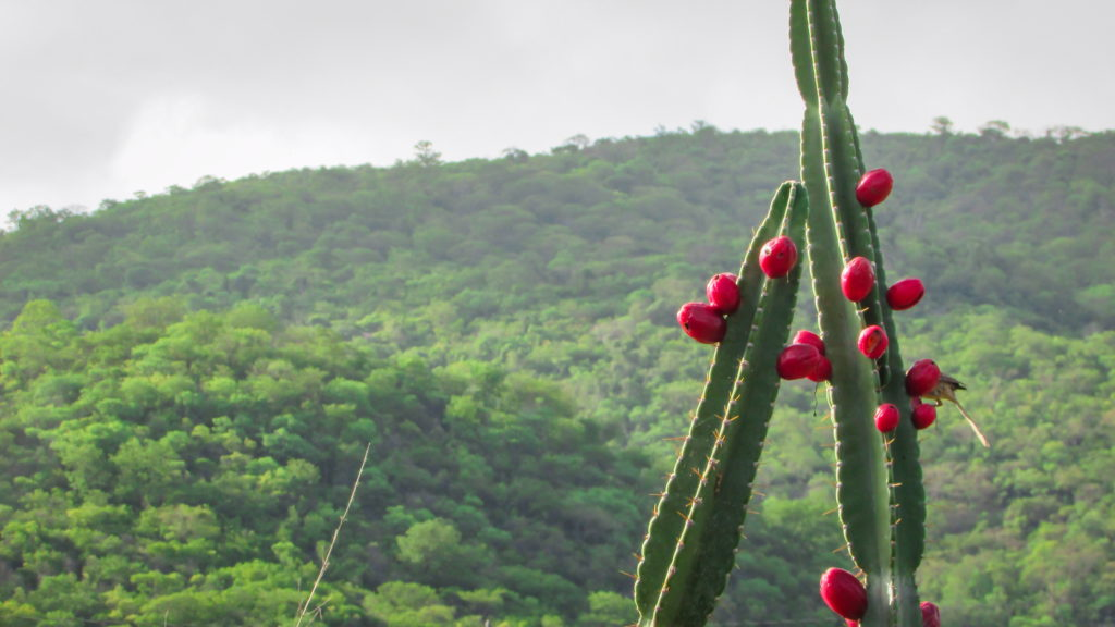 Mandacaru, exotic Brazilian fruits on a cactus tree