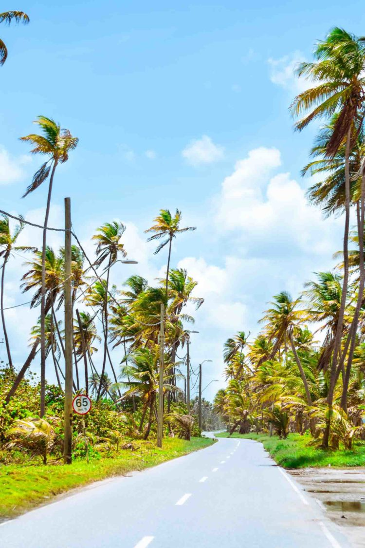 Palm tress along a road in Mayaro, Trinidad and Tobago