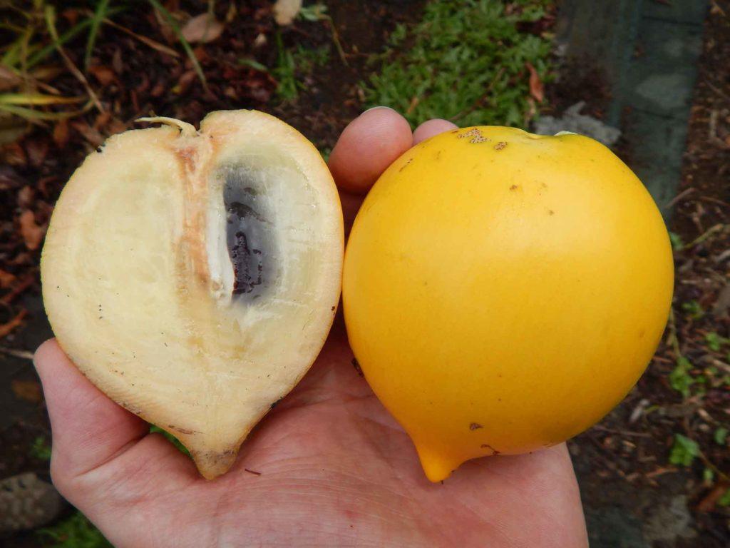Abiu Trinidad fruit in hand showing interior